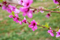 Pink flowering cherry tree and grass Stock Photography