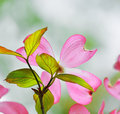 Pink flowering dogwood flower detail Stock Images