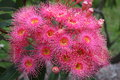 Eucalyptus flower cluster pink bloom