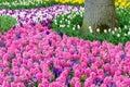 Pink flowering hyacinth bulbs in the garden of Keukenhof, Netherlands Royalty Free Stock Photo
