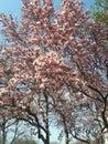 Pink flowering magnolia tree in early spring