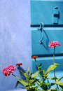 Pink flowers against blue wall to burano isalnd Stock Images