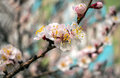 Pink flowers on a background close-up. Spring bloom trees. Royalty Free Stock Photo