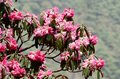 Pink flowers of beautiful rhododendron blossom himalaya nepal ev everest region Royalty Free Stock Photography