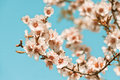 Pink Flowers Blooming Peach Tree at Spring Stock Image
