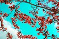 Pink Flowers Blooming Peach Tree at Spring. Bright Blue Sky as Background Royalty Free Stock Photo