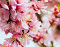 Pink flowers blossoming tree Royalty Free Stock Photo