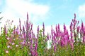 Pink Flowers On Blue Sky Backg...