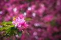 Pink flowers bokeh horizontal background Royalty Free Stock Photo