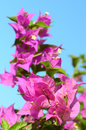 Pink flowers (bougainvillea) Royalty Free Stock Images