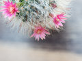 Pink flowers from cactus that have white hair like the hair of cat. Royalty Free Stock Photo