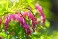 Pink Flowers Of Dicentra