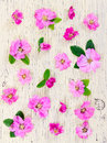 Pink flowers dog-rose on light wooden background. Royalty Free Stock Photo