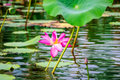 Pink flowers and flat lily pads at Corroboree Billabong, NT, Australia Royalty Free Stock Photo
