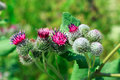 Pink flowers, fruits of burdock, agrimony in summer Royalty Free Stock Photo