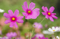 Pink flowers in the garden Royalty Free Stock Photo