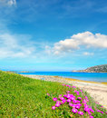 Pink flowers and green grass by the sea in capo testa sardinia Royalty Free Stock Photos