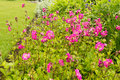 Pink flowers in the home, romantic garden Royalty Free Stock Photo