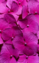 Pink flowers (Hydrangea) close-up Royalty Free Stock Photo