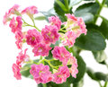 Pink flowers of kalanchoe plant with green leaves isolated on white Royalty Free Stock Photo