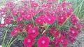 Pink Flowers In My Garden