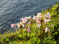 Pink Flowers on Ocean Cliff Royalty Free Stock Photo