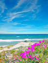 Pink flowers in platamona shore Royalty Free Stock Photo