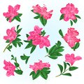 Pink flowers rhododendrons and leaves mountain shrub on a blue background vintage vector illustration editable