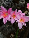Pink flowers in the rock Royalty Free Stock Photo