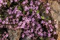 Pink flowers among the rocks Royalty Free Stock Photo