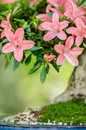 Pink flowers on a satsuki azalea bonsai tree rhododendron indicum nikko Stock Photo