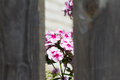 Pink flowers seen through a hole in the fence. The background is Royalty Free Stock Photo