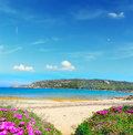 Pink flowers by the shore in capo testa sardinia Stock Images