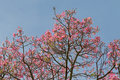 Pink flowers from Silk Floss tree against blue sky during Autumn Royalty Free Stock Photo