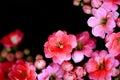 Pink Flowers Soft  Focus