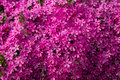 Pink flowers spring goodly colored ivy plant on a stone fence Stock Images