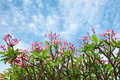 Pink flowers tropical tree frangipani plumeria over blue cloudy sky background Stock Image
