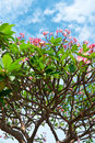 Pink flowers tropical tree frangipani plumeria over blue cloudy sky background Stock Images