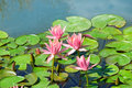 Pink flowers of water lilies in  pond Royalty Free Stock Photo