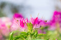 Pink flowers with whiskers beautiful Stock Photography