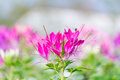 Pink flowers with whiskers beautiful Stock Images