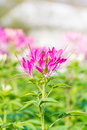 Pink flowers with whiskers beautiful Royalty Free Stock Image