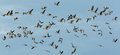 Pink footed geese anser brachyrhynchus in flight a flock of Royalty Free Stock Photography