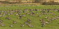 Pink footed geese anser brachyrhynchus a flock of on a field in scotland in winter Stock Photography