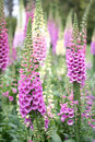 Pink foxglove Royalty Free Stock Photo