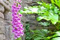 Pink foxglove flower in cottage garden Royalty Free Stock Photo