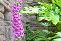 Pink foxglove flower in cottage garden Royalty Free Stock Photo