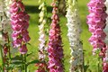 Pink foxglove flowers or Digitalis in a garden in summer Royalty Free Stock Photo