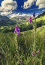 Pink Foxglove Flowers on Green Slopes of Gwynant Valley in Snowdonia Royalty Free Stock Photo