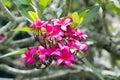 Pink Fragipani Blooms Royalty Free Stock Photo